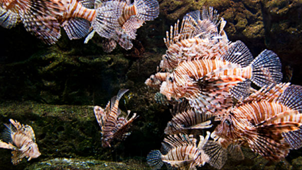 Lionfish Destroying Atlantic's Reefs